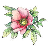 Graphic the branch flowering dog rose names: Japanese rose, Rosa rugosa. Stock Photography