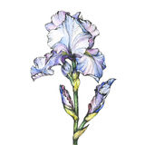 Graphic the branch flowering light blue Iris with bud. Black and white outline illustration with watercolor hand drawn painting. Isolated on white background royalty free illustration