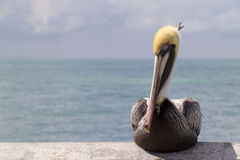 Graphic Close Up Portrait of Pelican in Florida Keys stock photos