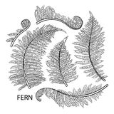 Graphic fern leaves. Graphic collection of fern branches isolated on white background. Coloring book page design Stock Photo