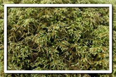 Graphic Design Resource of Moss Macro Photo with White Border Frame for Flyers.  Royalty Free Stock Photo