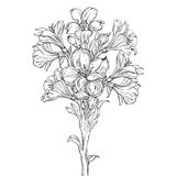Graphic drawing of orchid flower. Vector illustration. Bouquet of orchids Royalty Free Stock Photography