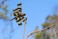 The Graphic Flutterer Dragonfly is resting on a branch in the Northern Territory of Australia stock photography
