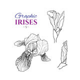 Graphic illustration of irises Royalty Free Stock Photography