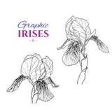 Graphic illustration of irises Stock Photo