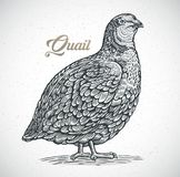 Quail in graphic style stock illustration