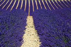 Graphic lavender field, Provence. In the most romantic & scenic location of Provence: the Plateau of Valensole, rows and rows of flagrant flowers. France stock images