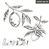 graphic lemons royalty free illustration