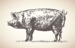 Graphic pig. Stock Images