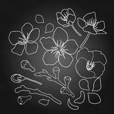 Graphic sakura set. Graphic sakura collection of flower, branches and petals. Traditional symbol of spring in Japan. Vector floral design  on the chalkboard Royalty Free Stock Photos