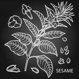 Graphic sesame flowers. Isolated on the chalkboard background. Natural spices Stock Photo