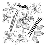 Graphic vanilla flowers. Collection isolated on white background. Vector floral design elements. Coloring book page design for adults and kids Royalty Free Stock Photography