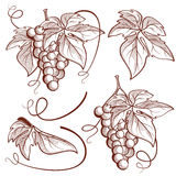 Graphic vector set bunch of grapes and vine elements Stock Image