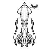 Graphic vector squid Stock Photography