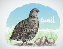 Free Graphical Quail In Engraving Style Royalty Free Stock Image - 154963496