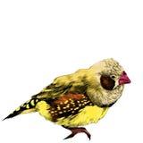Graphiques de vecteur de croquis d'amadina d'oiseau Photo stock