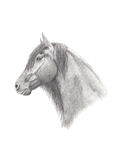 Graphite Pencil Drawing of a Friesian Horse Stock Images