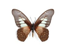 Graphium agamedes (Westwood's white-lady) Royalty Free Stock Photos