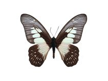 Graphium agamedes (Westwood's white-lady) Stock Photography