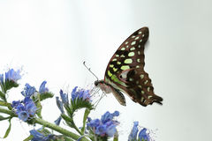 Graphium agamemnon Royalty Free Stock Image