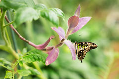 Graphium Agamemnon. Beautiful butterfly closeup. Spring Stock Image
