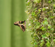 Graphium Agamemnon. Beautiful butterfly closeup. Summer Stock Photography