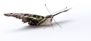 Graphium agamemnon butterfly Royalty Free Stock Photos