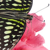 Graphium agamemnon butterfly Stock Photography