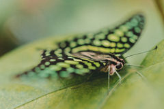 A Graphium Agamemnon Butterfly