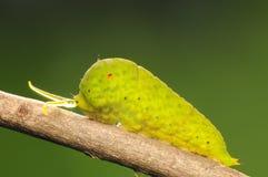 Graphium agamemnon / larva on twig royalty free stock image