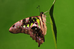 Graphium agamemnon /male/butterfly Arkivfoto