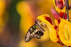Graphium agamemnon na thunbergia mysorensis Zdjęcie Stock