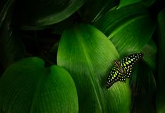 Graphium agamemnon na zielonym liściu Fotografia Stock