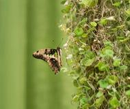 Graphium Agamemnon piękny motyli zbliżenie Lato Fotografia Stock