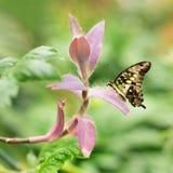 Graphium Agamemnon piękny motyli zbliżenie Wiosna Zdjęcia Stock