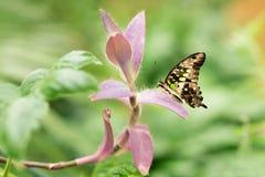 Graphium Agamemnon piękny motyli zbliżenie Wiosna Obrazy Royalty Free