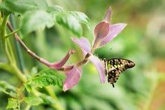 Graphium Agamemnon piękny motyli zbliżenie Wiosna Obraz Stock
