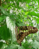 Graphium agamemnon or Tailed Jay butterfly Stock Photos