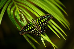 Graphium agamemnon - tailed jay butterfly Royalty Free Stock Photos
