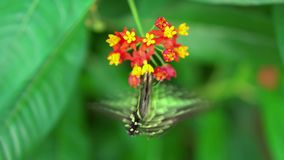 Graphium agamemnon, Tailed Jay green and black butterfly feeding on red and yellow blosson , on green leaves blury stock video