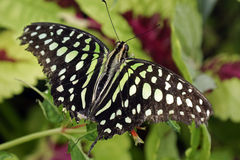 Graphium agamemnon Royalty Free Stock Photography
