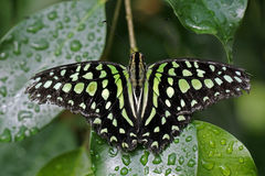 Graphium agamemnon Stock Photo