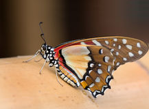 Graphium angolanus Stock Photography