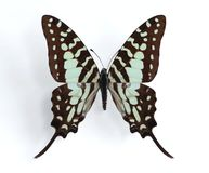 Graphium antheus (Large Striped Swordtail). On the white background Stock Photos