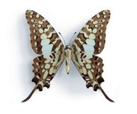 Graphium antheus (Large Striped Swordtail). (underside) on the white background Royalty Free Stock Image