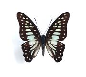 Graphium bathycles Royalty Free Stock Photo