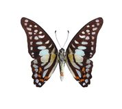 Graphium bathycles (underside) royalty free stock photography