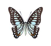 Graphium bathycles (underside) Stock Photo
