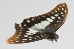 Graphium euphrates Butterfly Stock Image
