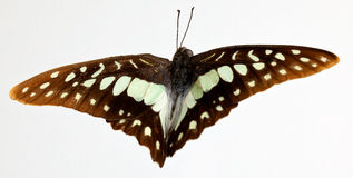 Graphium euphrates Butterfly Stock Photography